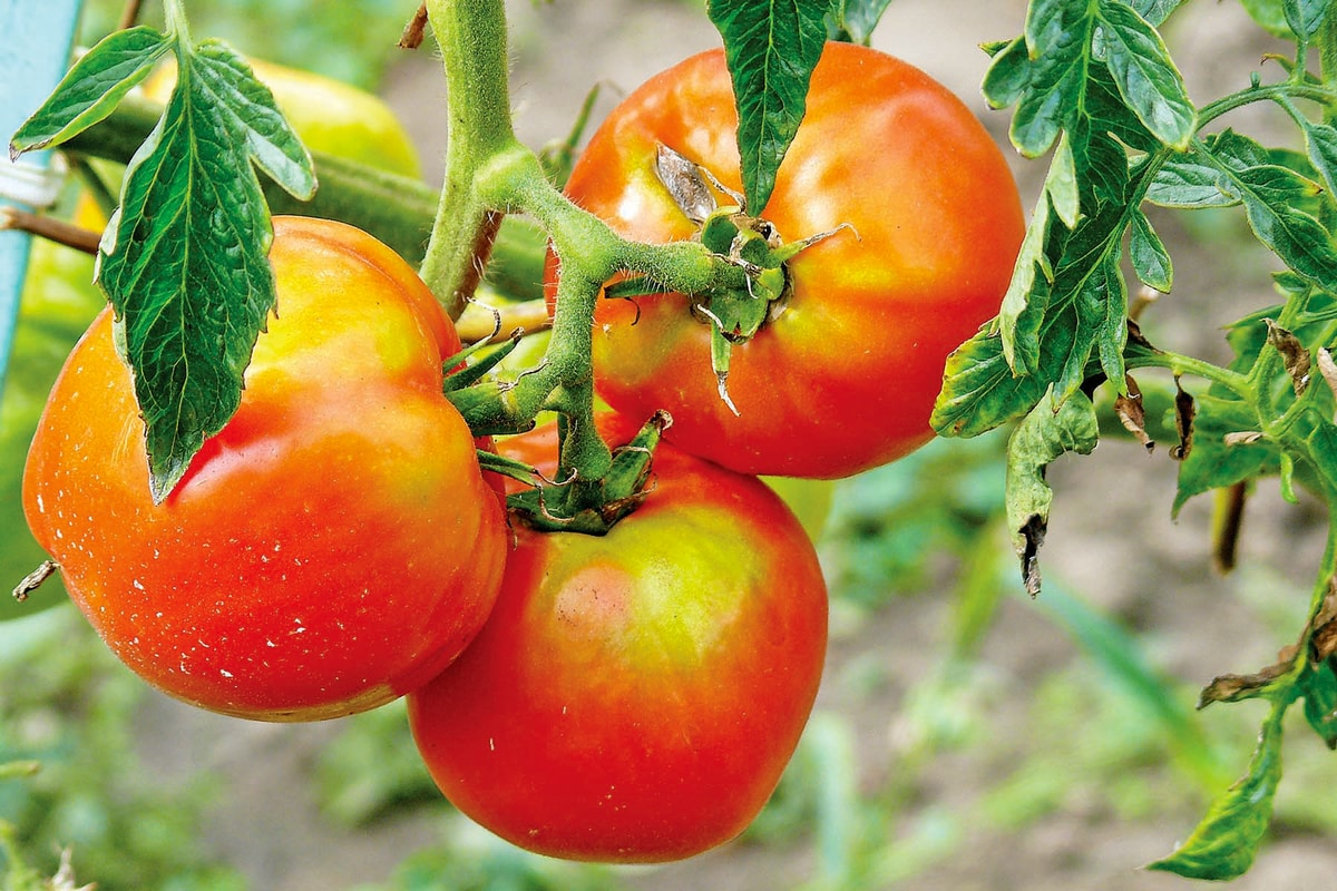 Fungicide For Tomatoes and Late Blight