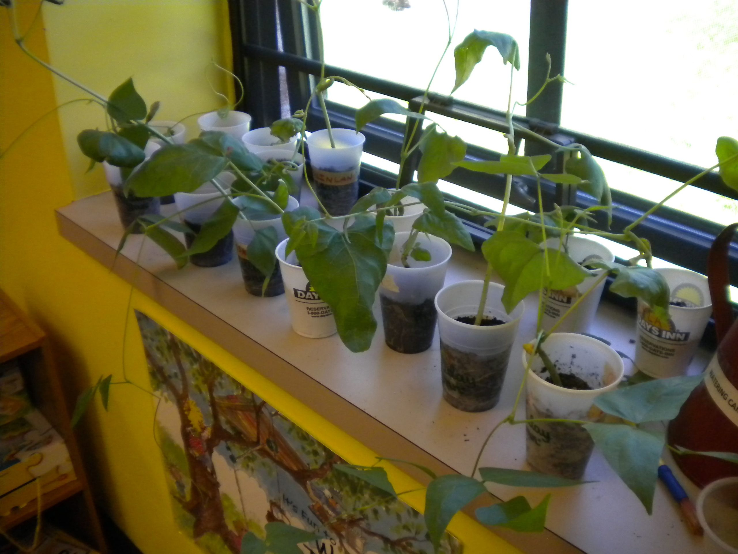 How To Grow Lima Beans In A Cup?